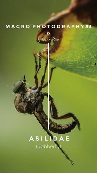 ASILIDAE (Robberfly) M A C R O P H O T O G R A P H Y #3 B by Utama Wira