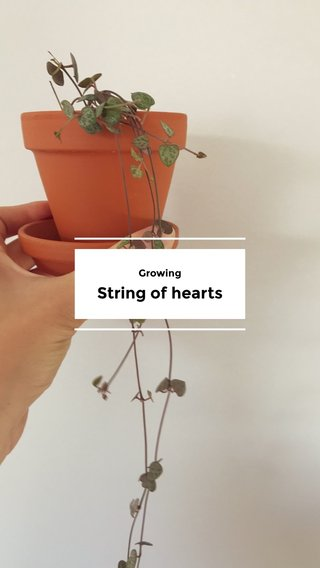 String of hearts Growing
