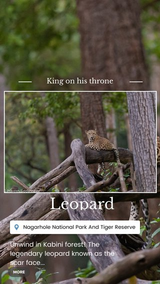 Leopard King on his throne Unwind in Kabini forest! The legendary leopard known as the scar face... #shareyourworld