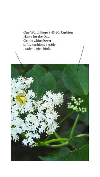One Word Photo 8-17-20: Cushion Haiku for the Day: Gentle white flower softly cushions a spider ready to give birth.