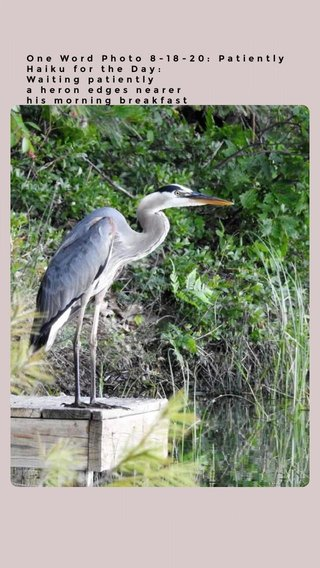 One Word Photo 8-18-20: Patiently Haiku for the Day: Waiting patiently a heron edges nearer his morning breakfast