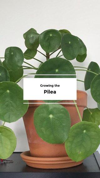Pilea Growing the