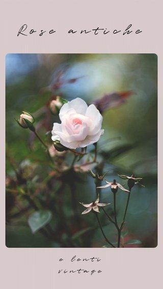 Rose antiche e lenti vintage