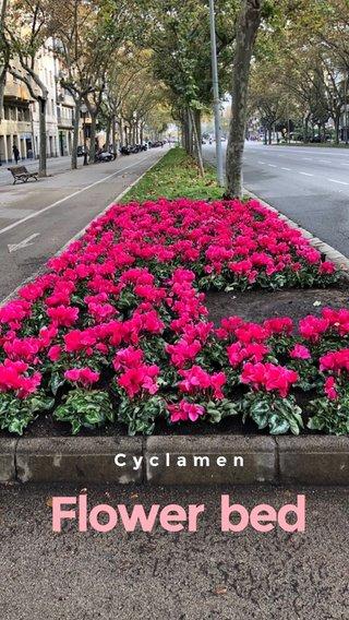 Flower bed Cyclamen