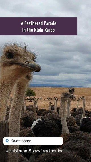 A Feathered Parade in the Klein Karoo #kleinkaroo #howzitsouthafrica