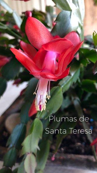 Plumas de Santa Teresa