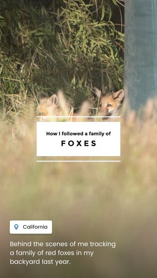 FOXES Behind the scenes of me tracking a family of red foxes in my backyard last year. How I followed a family of