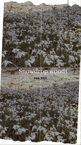 Snowdrop woods Feb 2021
