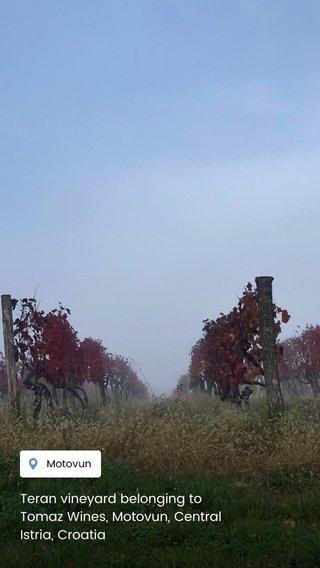 Teran vineyard belonging to Tomaz Wines, Motovun, Central Istria, Croatia