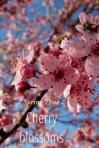 Cherry blossoms // Spring Time //