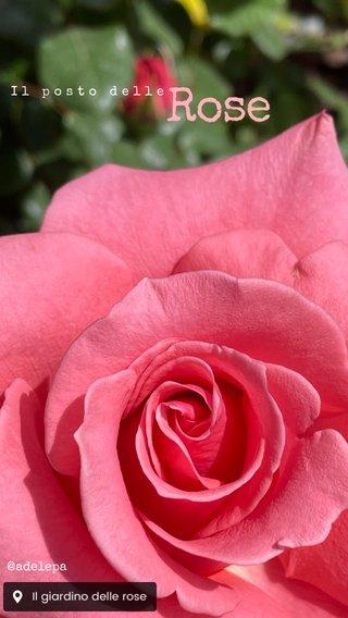 Rose Il posto delle @adelepa