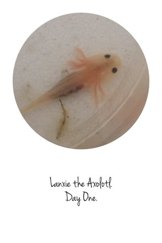 Lanxie the Axolotl. Day One.