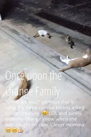 """Once upon the Orange Family """"What are you?"""" perhaps that is what my three curious kittens asked to that creature. 😆 LOL and surely, mommy Orange knew when she was caught on cam. Clever momma 😁😁👍"""