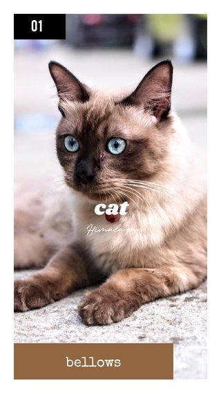 cat bellows 01 Himalayan