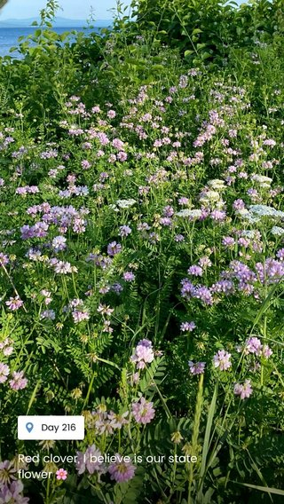 Red clover, I believe is our state flower 🌸