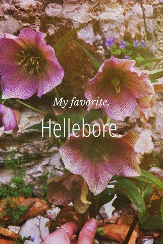 Hellebore. My favorite,