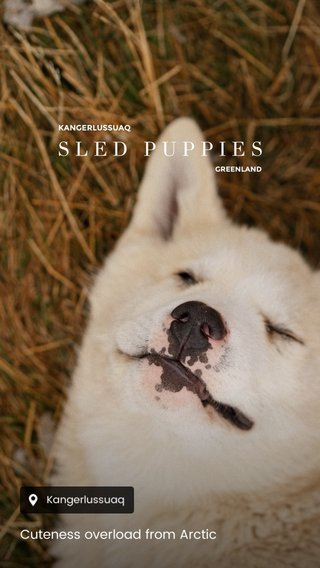 SLED PUPPIES Cuteness overload from Arctic KANGERLUSSUAQ GREENLAND