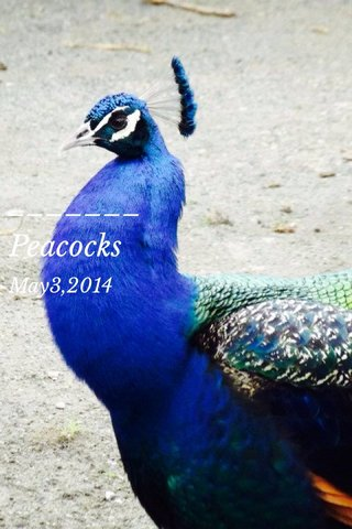 Peacocks May3,2014