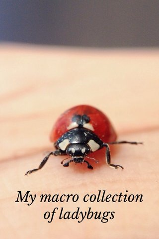 My macro collection of ladybugs