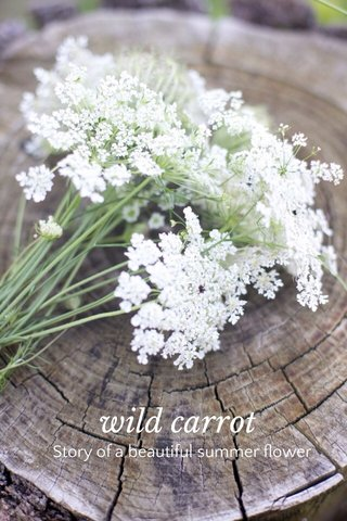 wild carrot Story of a beautiful summer flower