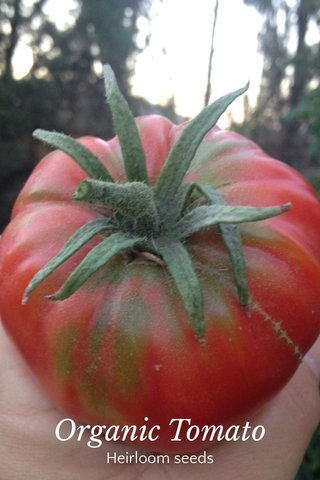 Organic Tomato Heirloom seeds