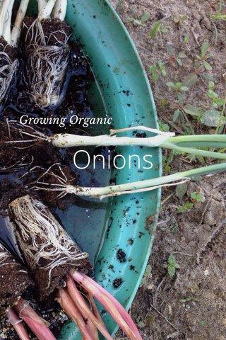 Onions Growing Organic