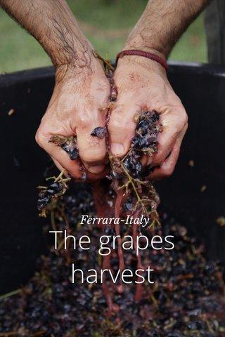 The grapes harvest Ferrara-Italy