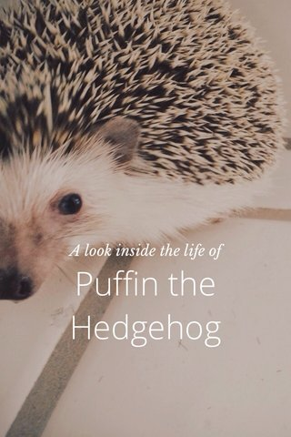 Puffin the Hedgehog A look inside the life of