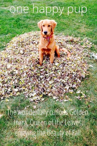 one happy pup The wonderfully curious Golden, Inara, Queen of the Leaves, enjoying the beauty of Fall.