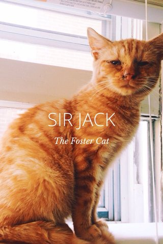 SIR JACK The Foster Cat