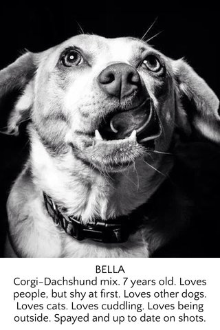 BELLA Corgi-Dachshund mix. 7 years old. Loves people, but shy at first. Loves other dogs. Loves cats. Loves cuddling. Loves being outside. Spayed and up to date on shots.