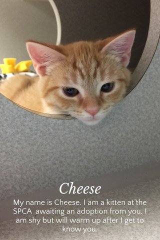 Cheese My name is Cheese. I am a kitten at the SPCA awaiting an adoption from you. I am shy but will warm up after I get to know you.