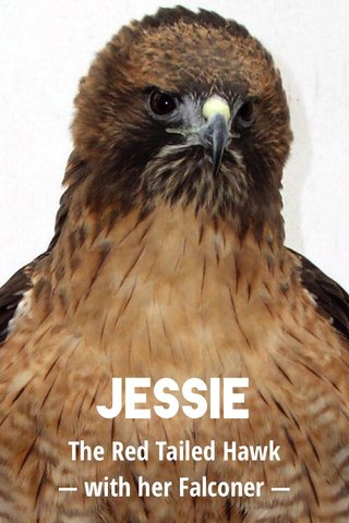 JESSIE The Red Tailed Hawk — with her Falconer —