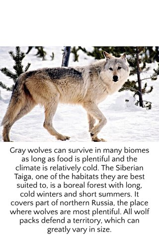 Gray wolves can survive in many biomes as long as food is plentiful and the climate is relatively cold. The Siberian Taiga, one of the habitats they are best suited to, is a boreal forest with long, cold winters and short summers. It covers part of northern Russia, the place where wolves are most plentiful. All wolf packs defend a territory, which can greatly vary in size.