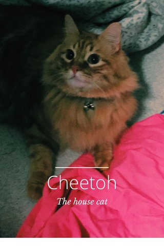 Cheetoh The house cat