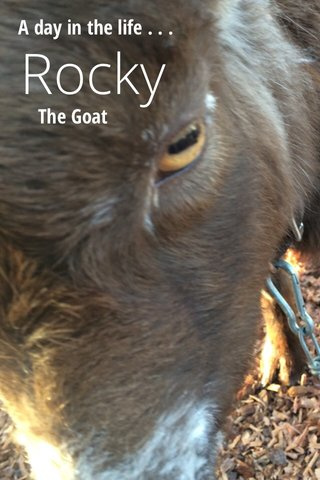 Rocky The Goat A day in the life . . .