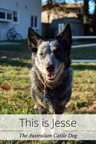 This is Jesse The Australian Cattle Dog