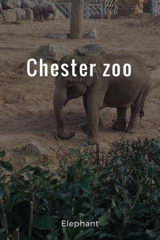Chester zoo Elephant