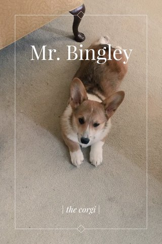 Mr. Bingley | the corgi |