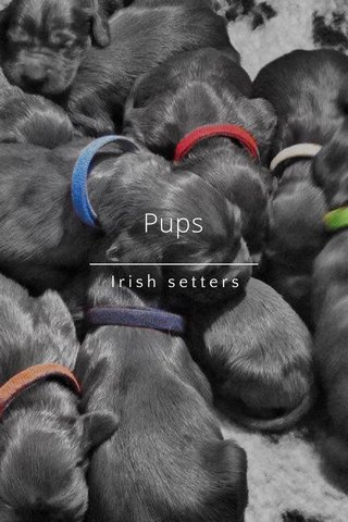 Pups Irish setters