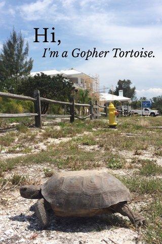 Hi, I'm a Gopher Tortoise.