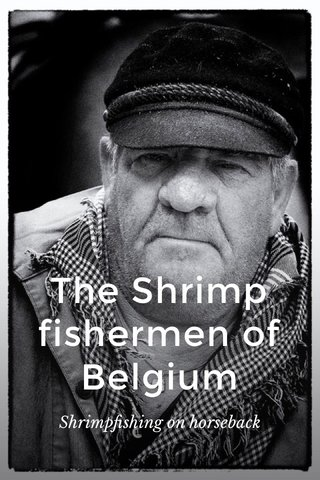 The Shrimp fishermen of Belgium Shrimpfishing on horseback