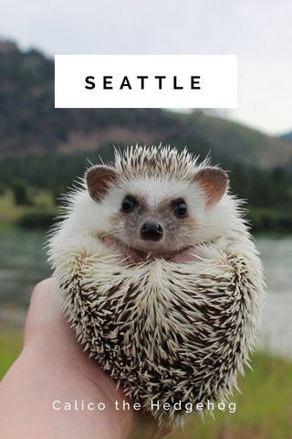 SEATTLE Calico the Hedgehog