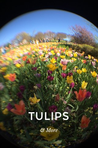TULIPS & More