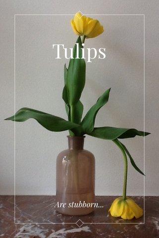Tulips Are stubborn...