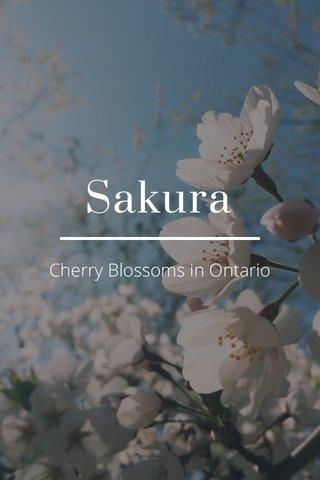 Sakura Cherry Blossoms in Ontario