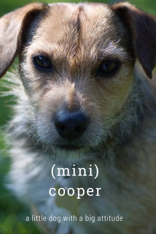 (mini) cooper a little dog with a big attitude