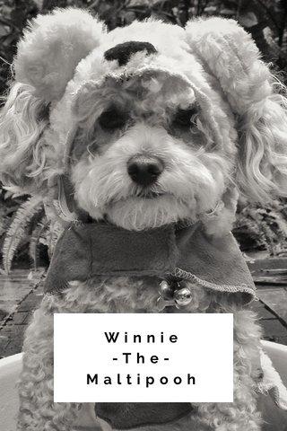 Winnie -The-Maltipooh