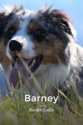 Barney Border Collie