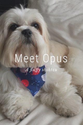 Meet Opus A fluffy shihtzu